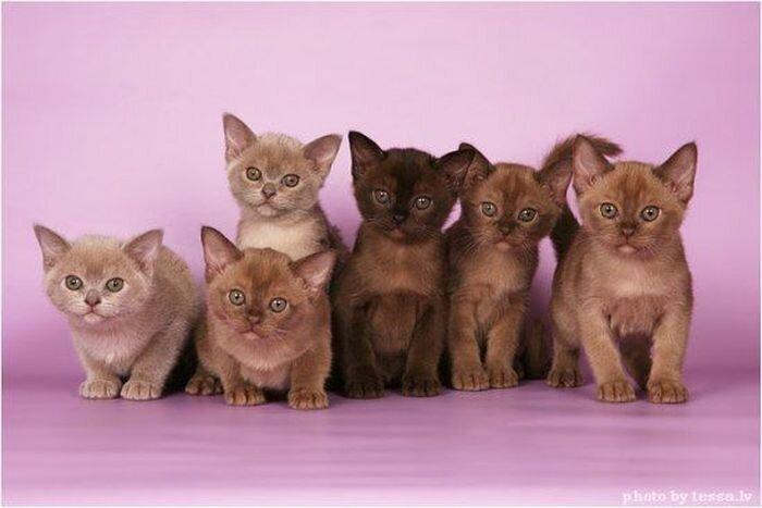 """Котята породы """"Бурма"""" (17 фото)"""