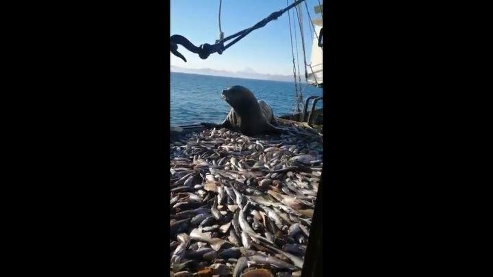 Сивуч попался на краже улова рыбаков
