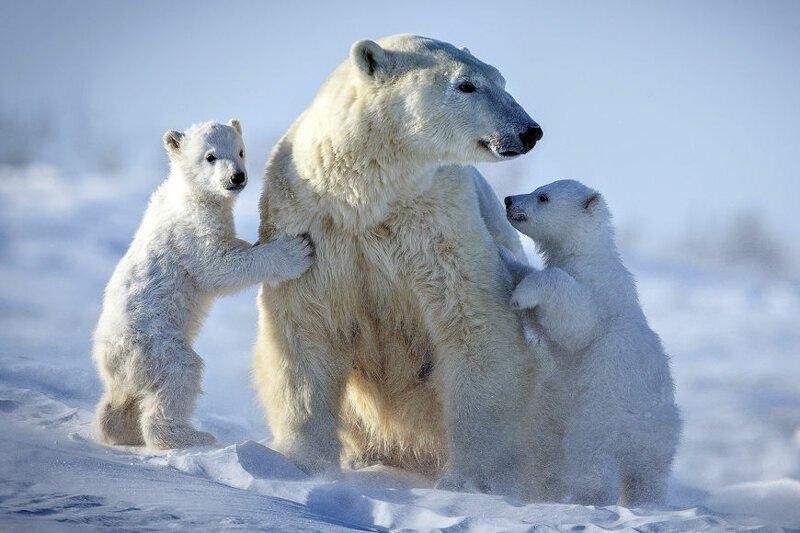 Белый и пушистый хищник: в мире отмечают День полярного медведя