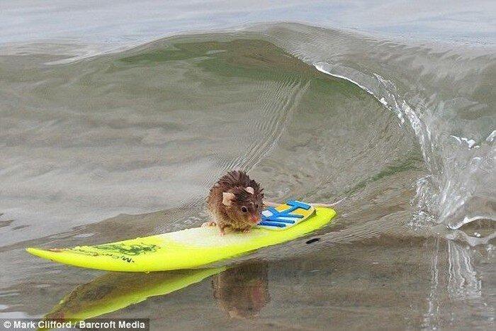 Мышка-серфингист (4 фото)
