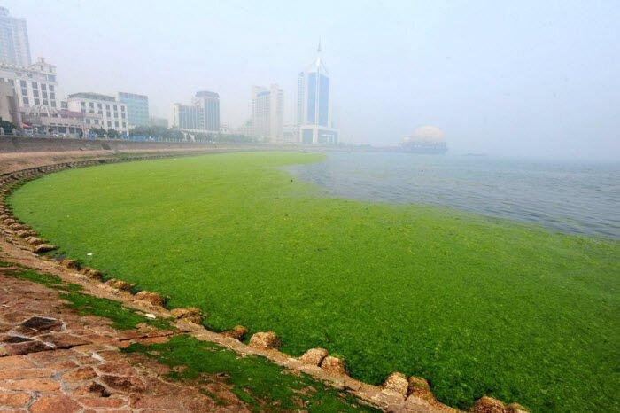 Нашествие водорослей (14 фото)