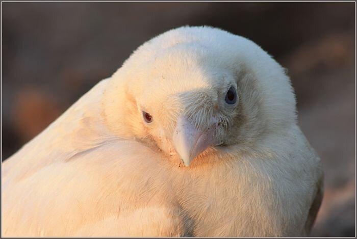 Белая вороная (4 фото)