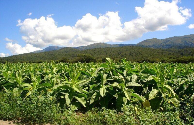 Какой табак посадить. Как выращивать табак - что нужно для получения насыщенного аромата? Пошаговая