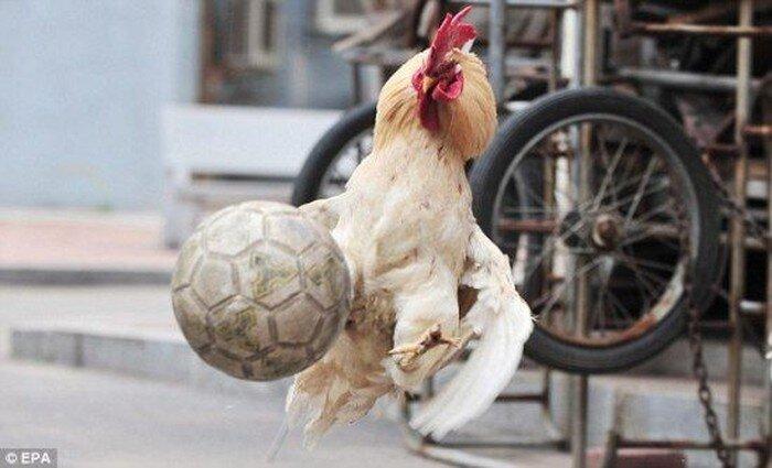 Чемпионат мира по футболу в курятнике (4 фото)