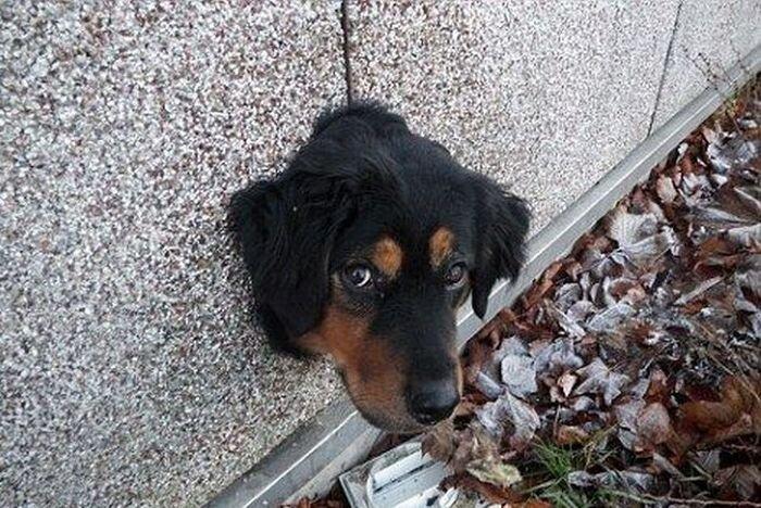 Рвущийся к свободе пес застрял в дырке в стене (3 фото)
