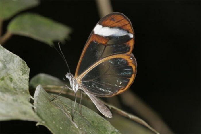 Бабочки с прозрачными крыльями (10 фото)