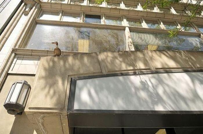 Дикие американские утки (17 фото)