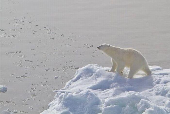 Белая медведица пришла поиграть (13 фото)