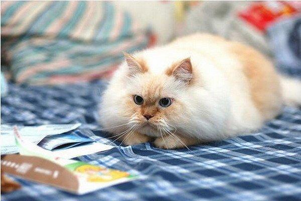 Гималайский кот (12 фото)