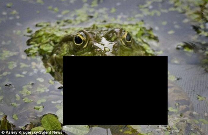 Огромная жаба съела рыбу (3 фото)