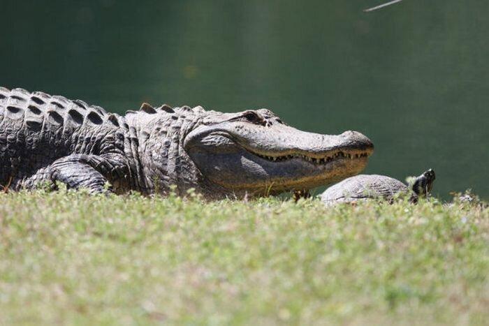 Дружба черепахи и крокодила (10 фото)