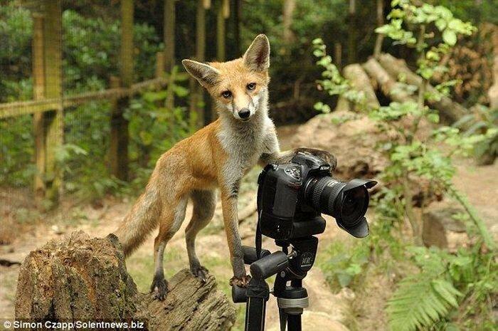 Лисичка, умеющая фотографировать (3 фото)