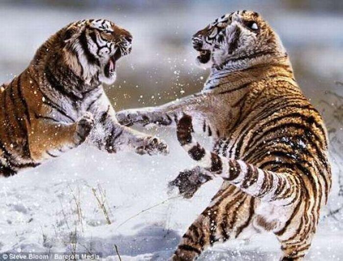 Жестокие бои животных (21 фото)