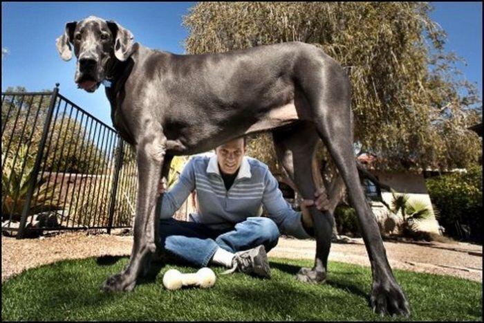 Громадные собаки (19 фото)