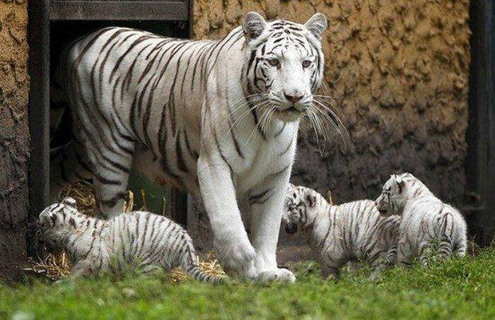 Тигрята выходят на первую прогулку (5 фото)