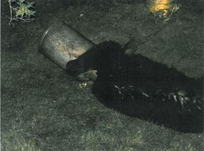 Освобождения «Винни-пуха», застрявшего головой в бидоне (10 фото)
