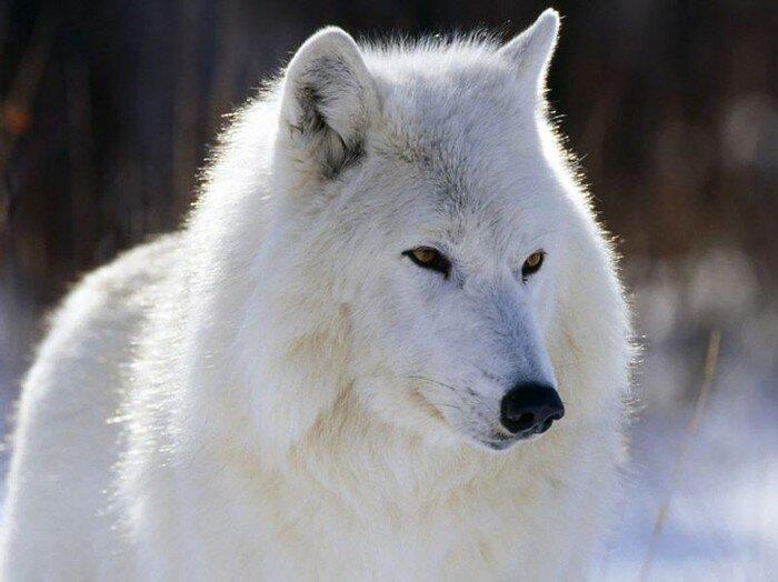 Полярный волк (31 фото)