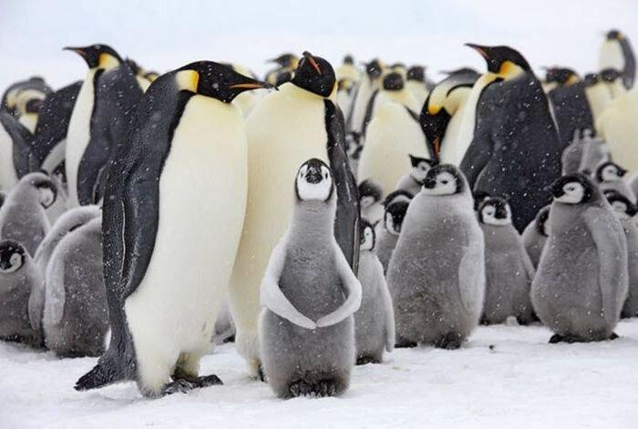 В гости к императорским пингвинам (17 фото)