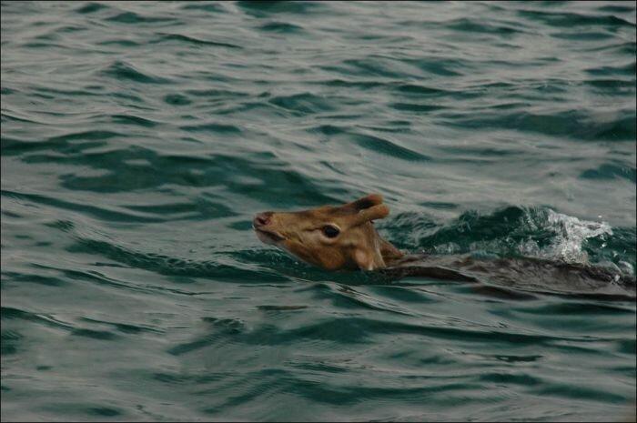 Рыбаки спасли косулю (8 фото)