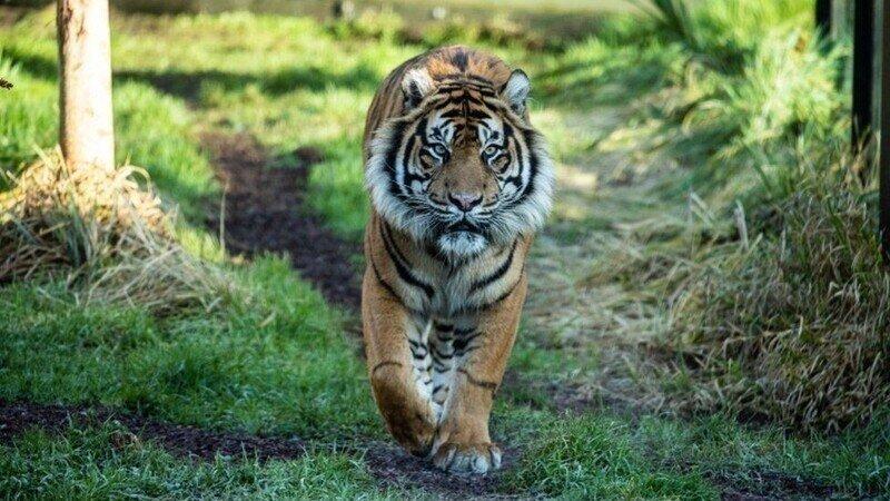 Тигр — самый крупный представитель семейства кошачьих