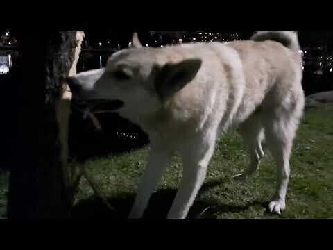 Ты бобр или собака? Смотрите, как пес перегрызает дерево, чтобы добыть кота