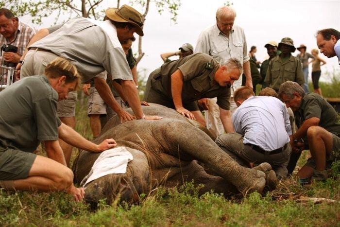 Летающий носорог (4 фото)