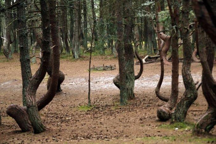 Танцующий лес (16 фото)