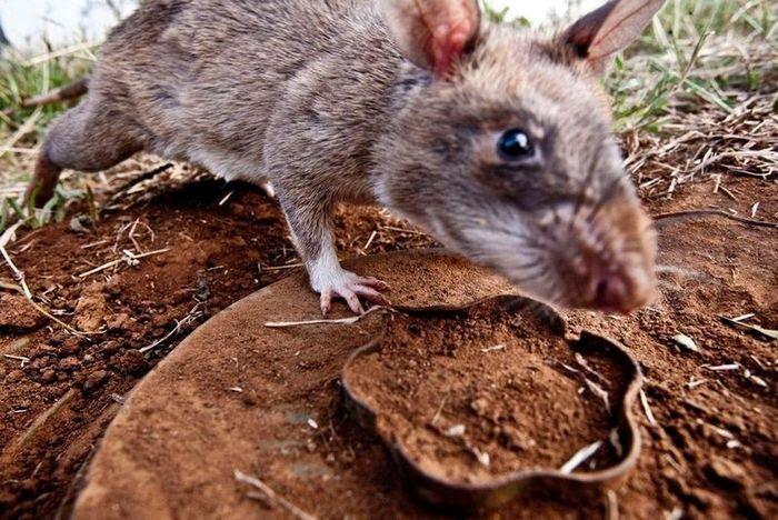 Крысы-саперы спасают Мозамбик (7 фото)