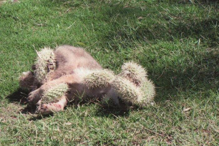 Спасение маленького койота от кактусов (11 фото)