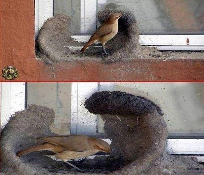 Как птицы строят гнезда (21 фото)