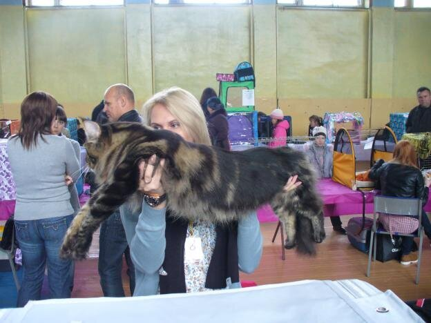 Large Mainecoon From Cat Show