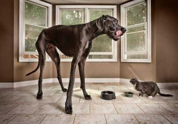 """""""Zeus"""" The Great Dane Is The World's Tallest Dog от Kaye за 18 sep 2012"""