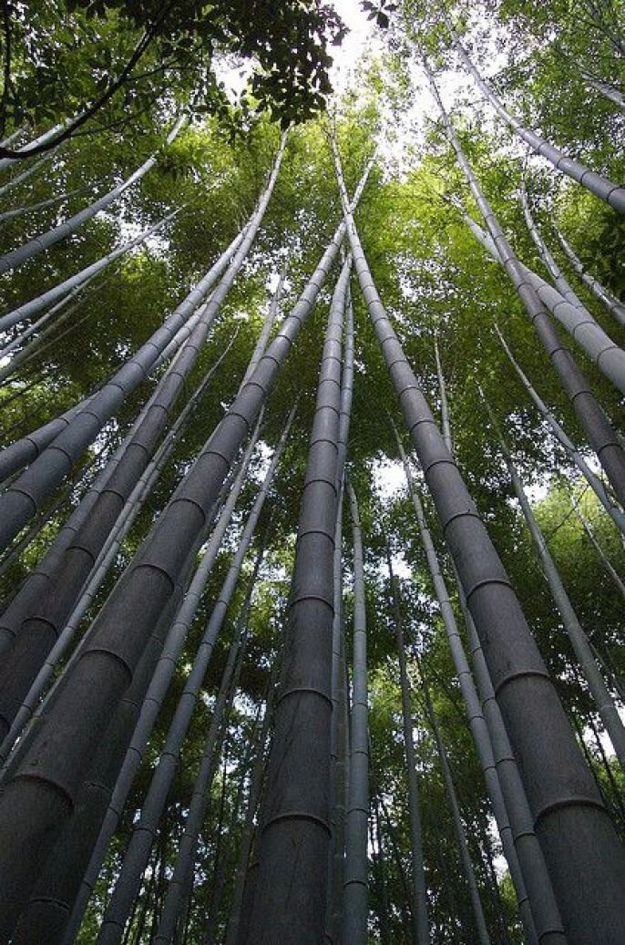 Beautiful Bamboo Forest in Kyoto от pab за 20 sep 2012