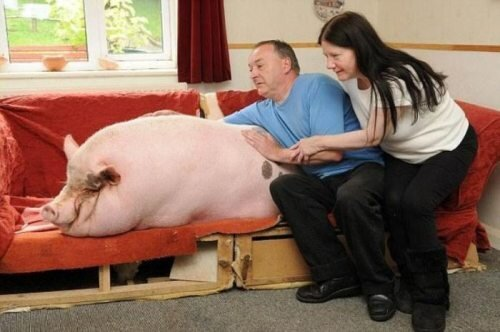 Family pet pig is huge
