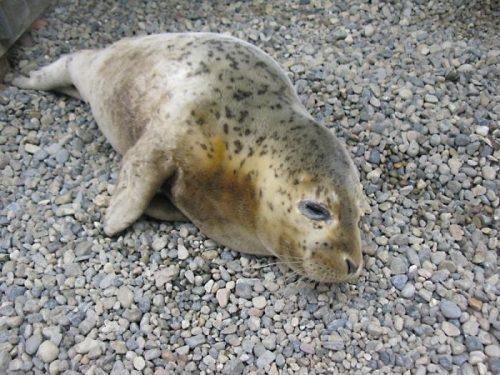 Captive Seal Set Free