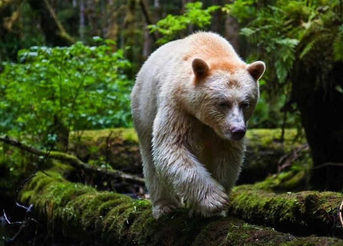 Kermode Bear