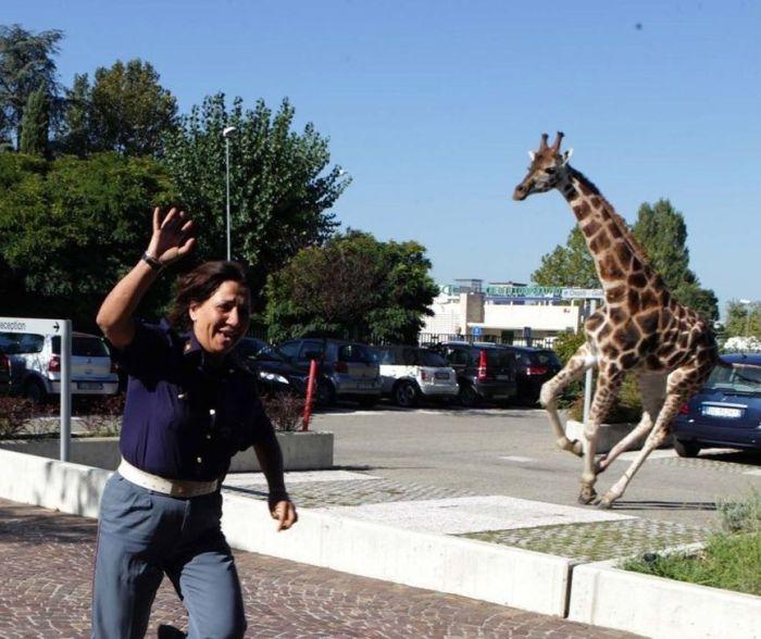 Giraffe on The Loose