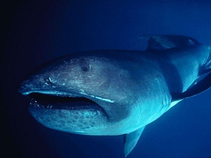 Rare Megachasma Pelagios Shark