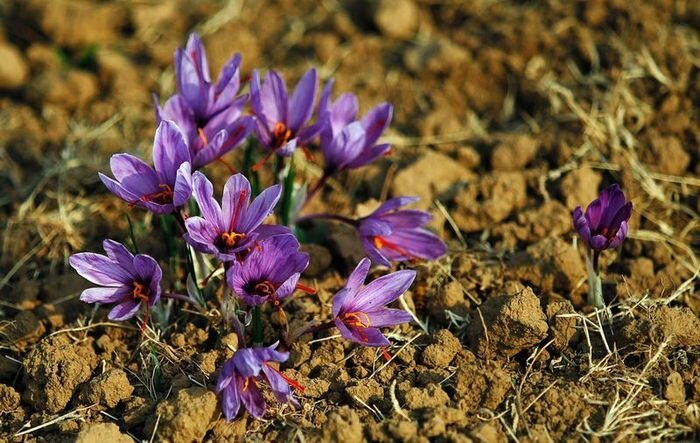 Saffron: One of the Most Expensive Spices in the World  от Helen за 21 nov 2012