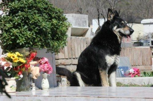 Loyal German Shepard sits by his former master's grave  от Veggie за 22 nov 2012