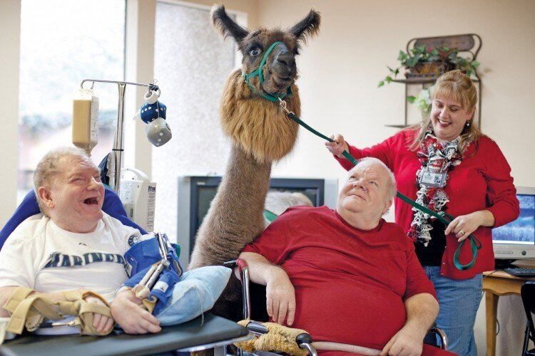 Old Folks Love Their Llamas