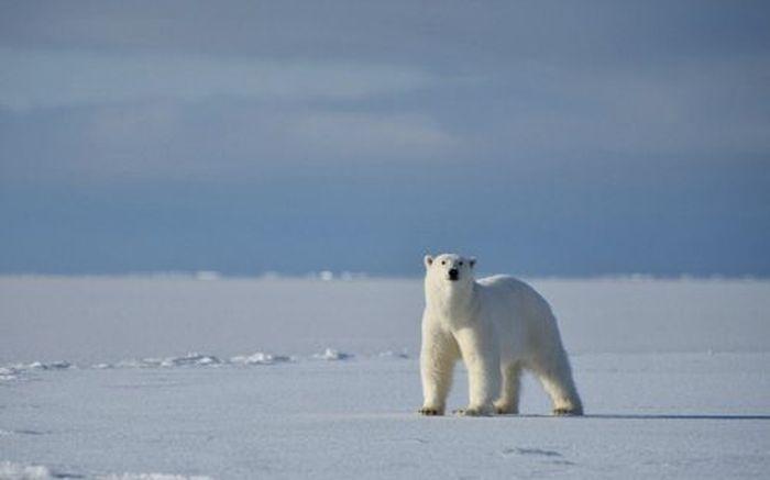 Polar Bear Attacks