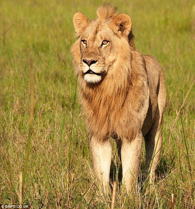 The Maned Lioness Phenomena.