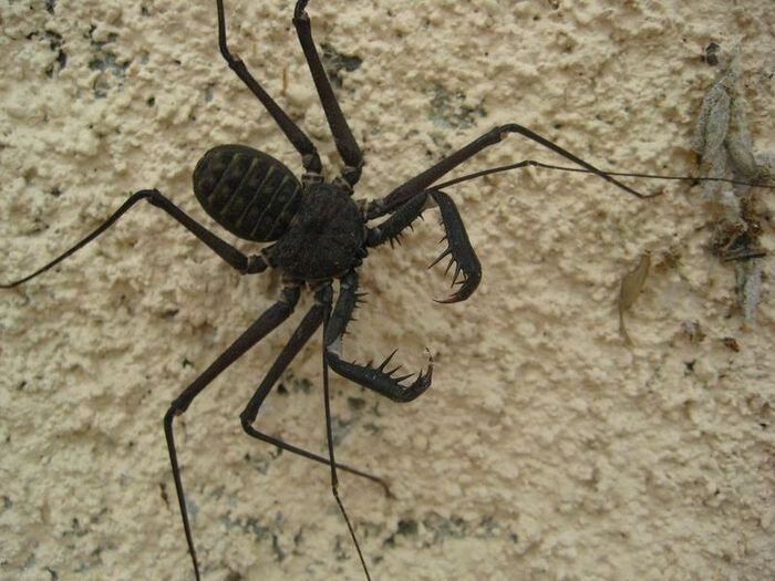Tailless Scorpions