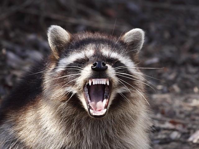 North Carolina's Rabies Scare