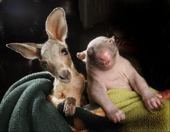 Best Mates: Orphaned Wombat Baby And Kangaroo Joey