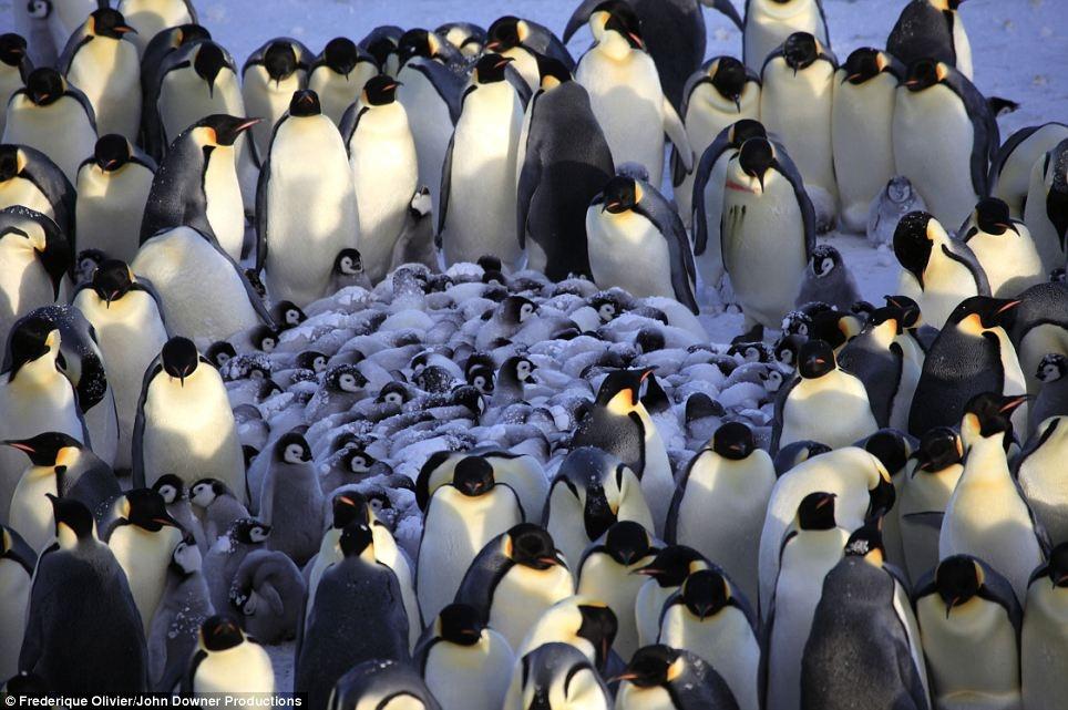 Penguin Nursery, Filmed for the First Time