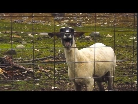 A Modest Proposal: Goats Should Replace the 'Wilhelm Scream'