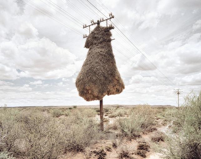 Massive Bird Nests on Telephone Poles