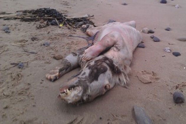 Mystery Creature Washes Ashore in Wales
